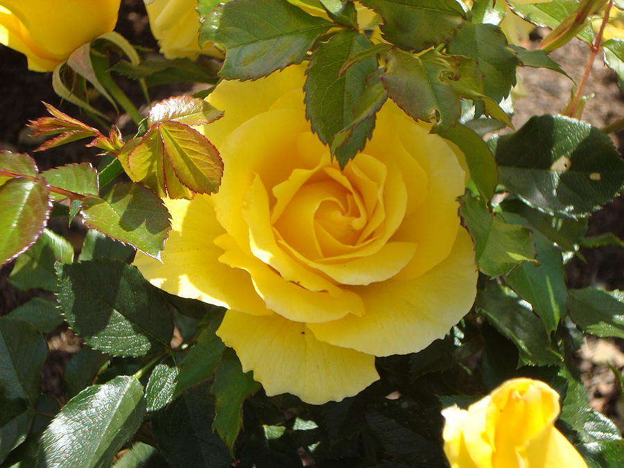 Rose Photograph - Yellow Rose Of California by James Hammen