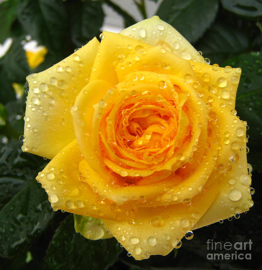 yellow roses with water drops - photo #3