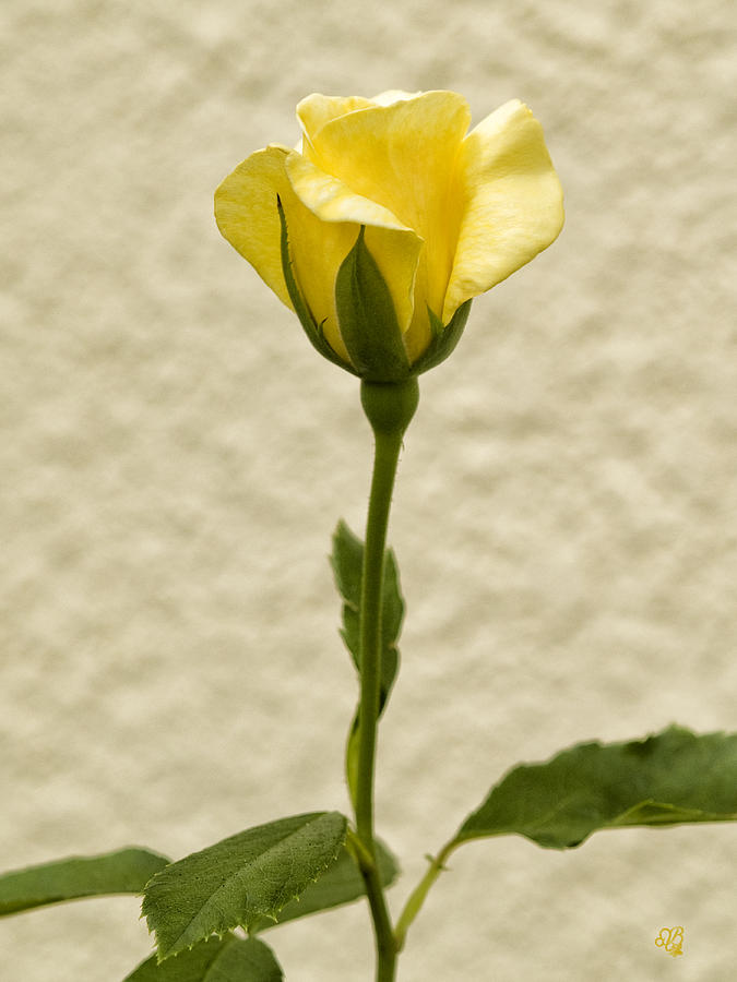 Yellow Rosebud Opening Photograph 