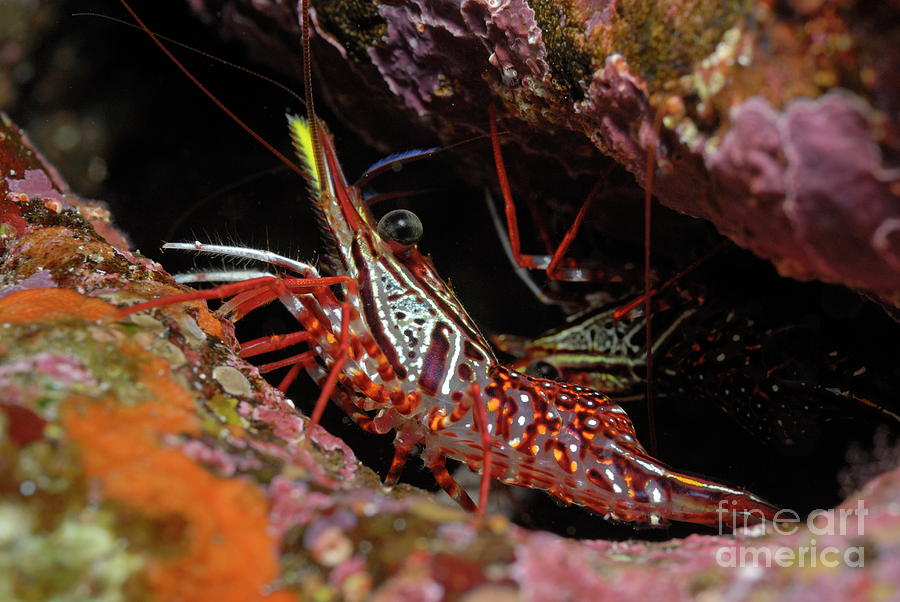 Yellow Snout Red Shrimp Photograph