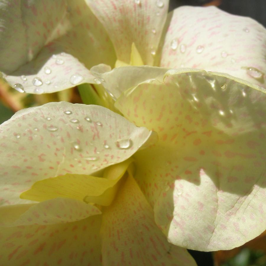 Yellow Speckled Canna Lily Photograph  - Yellow Speckled Canna Lily Fine Art Print