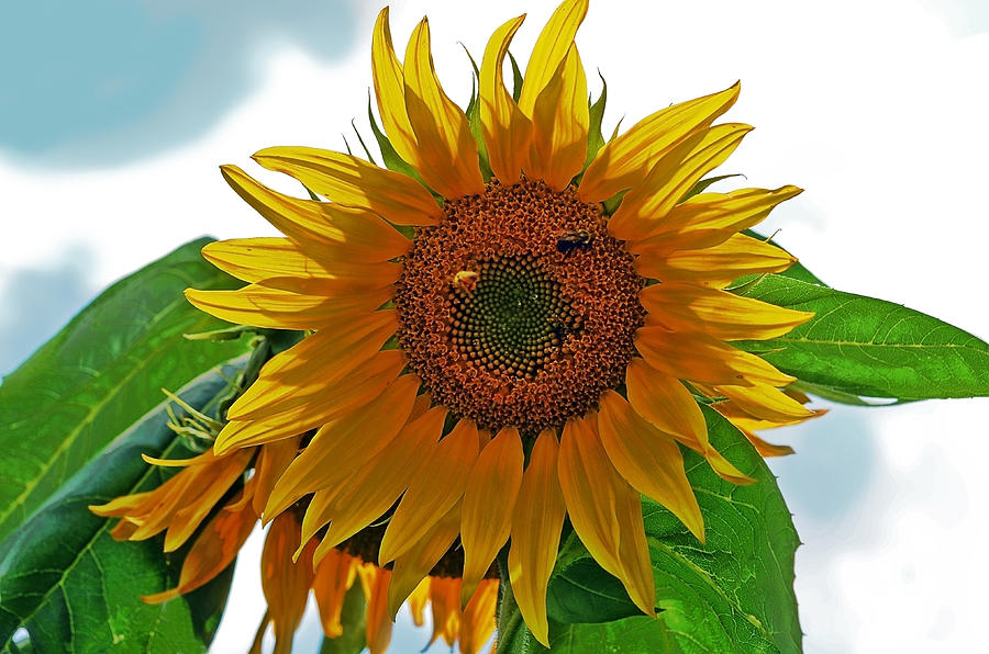 Yellow Sunflower Photograph  - Yellow Sunflower Fine Art Print