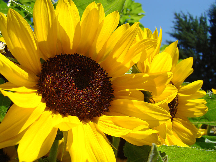 summer sunflowers andrea - photo #22