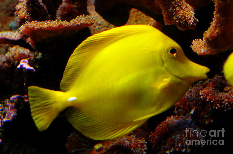 Yellow Tang Digital Art  - Yellow Tang Fine Art Print