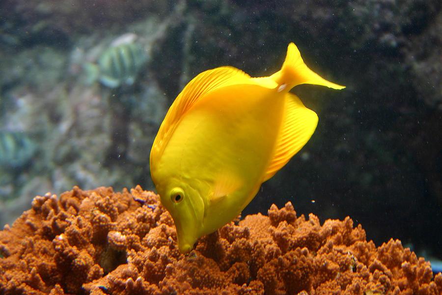 Yellow Tang Tropical Fish Maui Hawaii By Pierre Leclerc