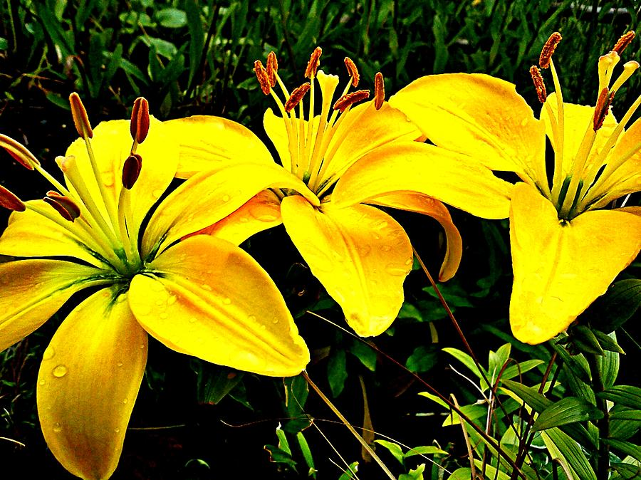 Yellow Triad Of Lilies Photograph  - Yellow Triad Of Lilies Fine Art Print