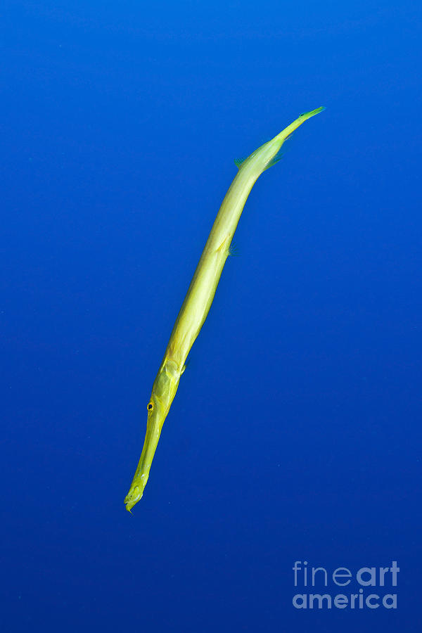 Yellow Trumpetfish, Easter Island Photograph