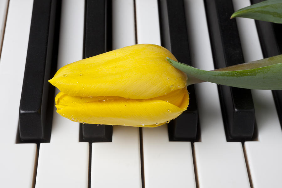 Yellow Tulip On Piano Keys Photograph  - Yellow Tulip On Piano Keys Fine Art Print