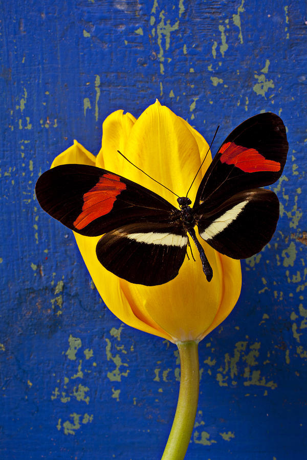 Yellow Tulip With Orange And Black Butterfly Photograph