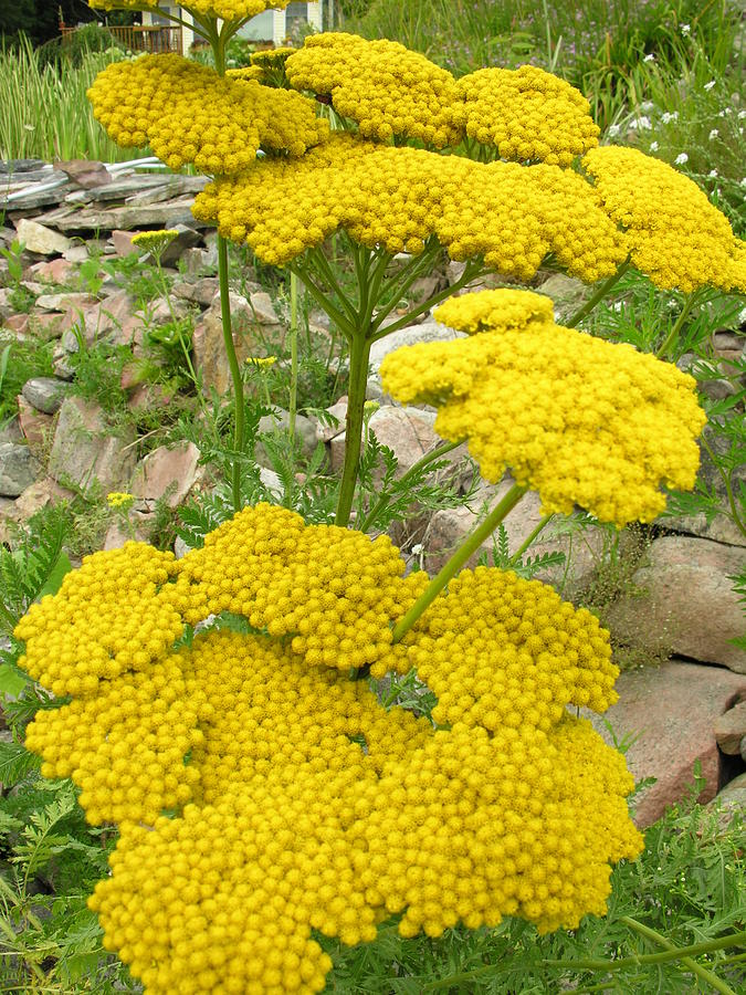 Yellow Yarrow Flower Yellow yarrow photographYellow Yarrow Flower