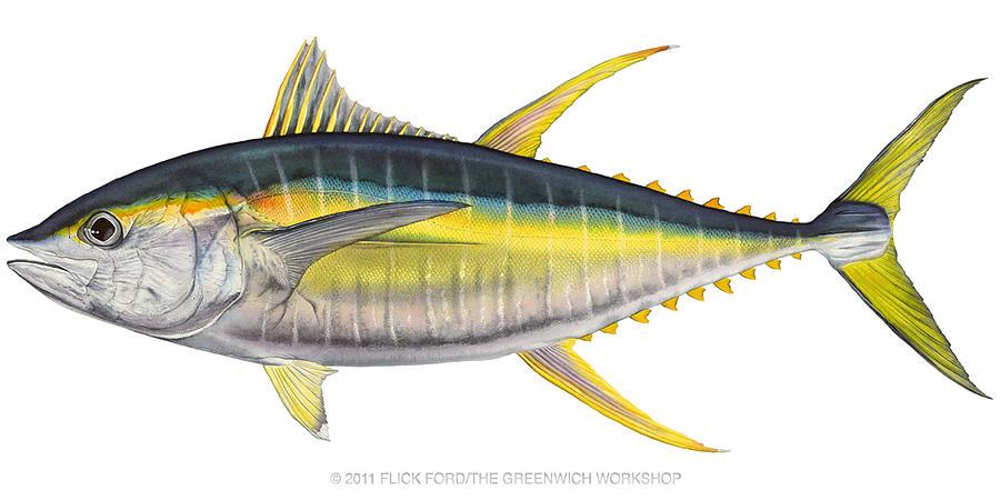 Yellowfin tuna by flick ford for Ahi tuna fish