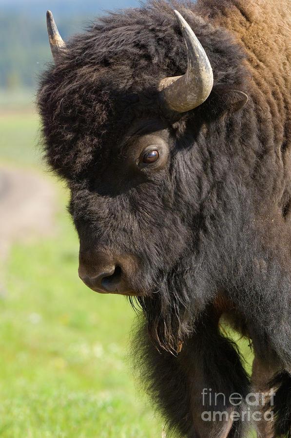 Yellowstone Bison Portrait Photograph