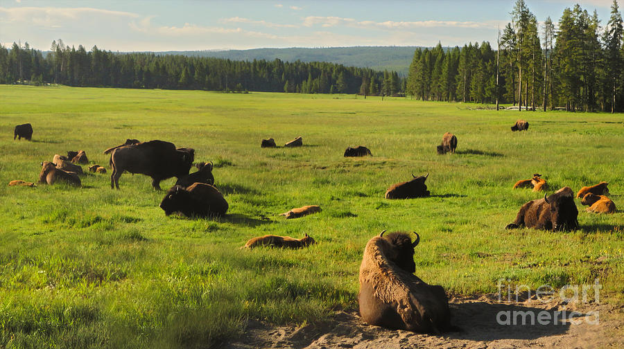 Yellowstone National Park Bison - 03 Photograph