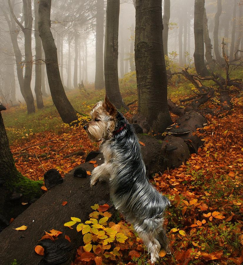 Dogs Photograph - Yorkie On The Hunt by Rick Friedle