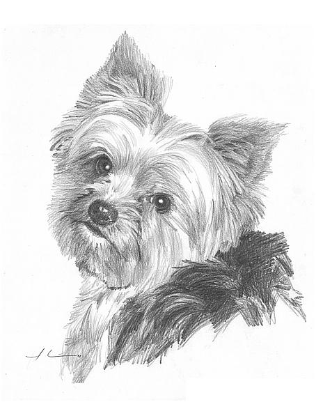 Line Drawing Of Yorkshire Terrier : Images about dogs puppies on pinterest