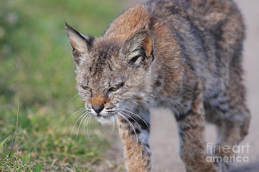 Young Bobcat 03 Photograph