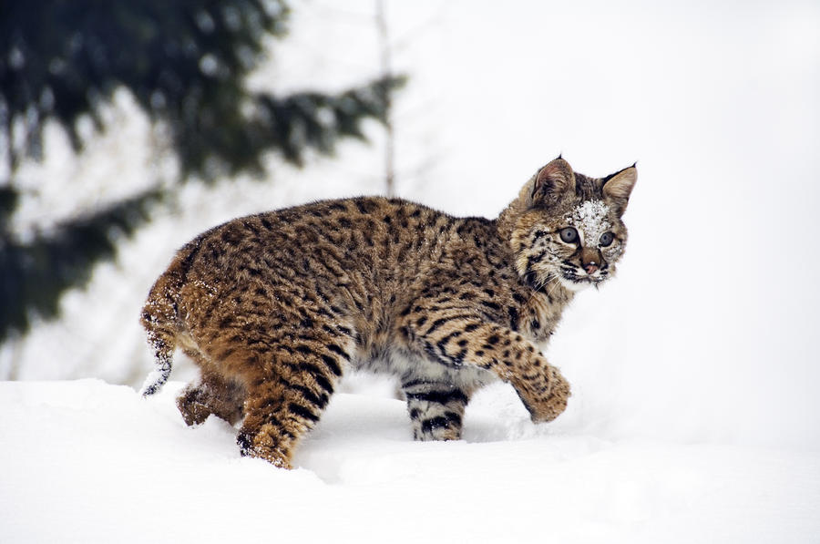 Young Bobcat Playing In Snow Photograph