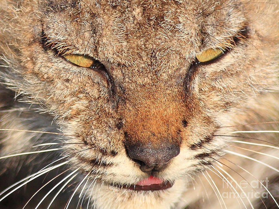 Young Bobcat Portrait 01 Photograph