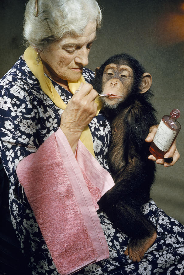 Indoors Photograph - Young Chimpanzee Sips Medicine by B. A. Stewart And David S. Boyer