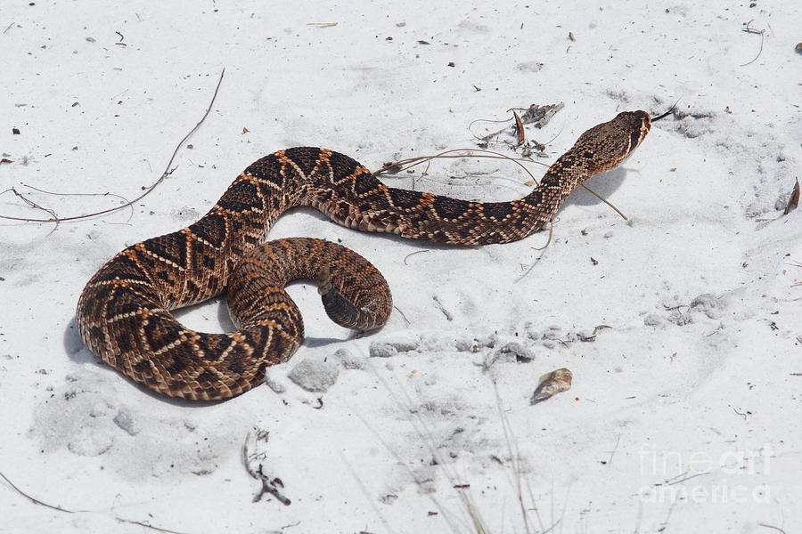 Young Diamondback Photograph  - Young Diamondback Fine Art Print