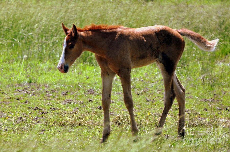 Young Foal Photograph  - Young Foal Fine Art Print
