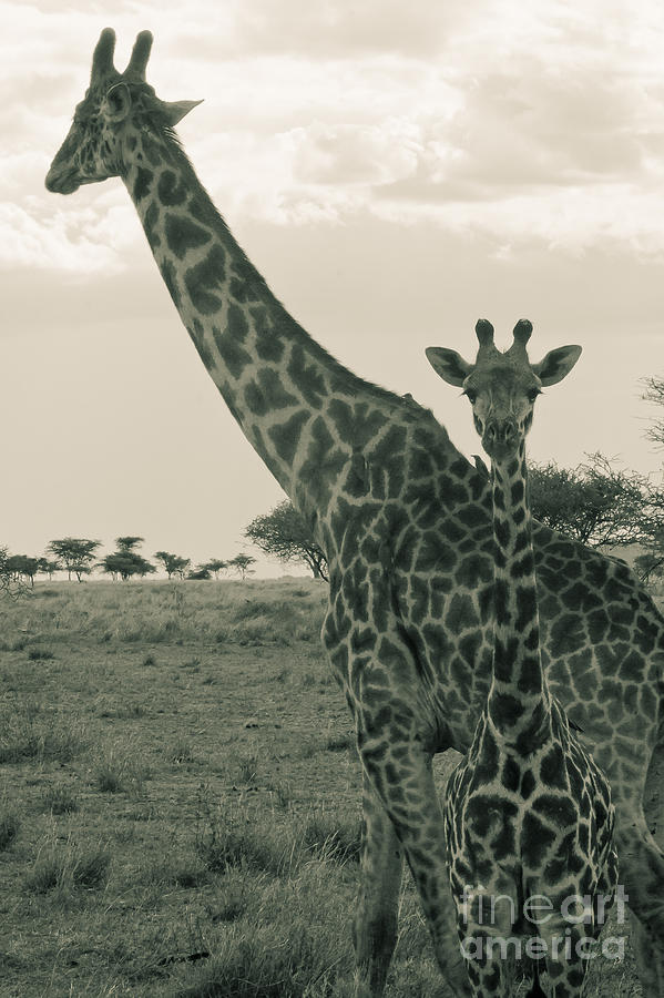 Young Giraffe With Mom In Sepia Photograph  - Young Giraffe With Mom In Sepia Fine Art Print