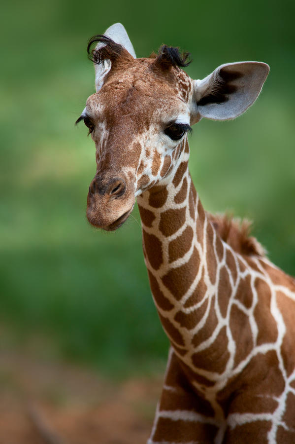 Young Giraffe Photograph  - Young Giraffe Fine Art Print