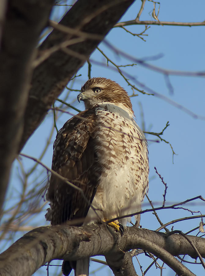 Young Hawk Photograph