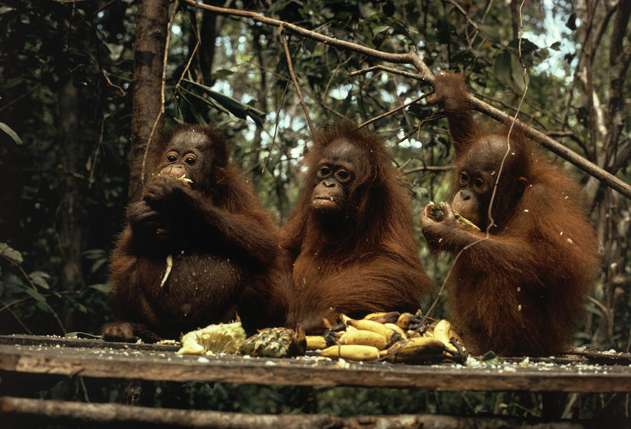 Young Orangutans Eat Together Photograph