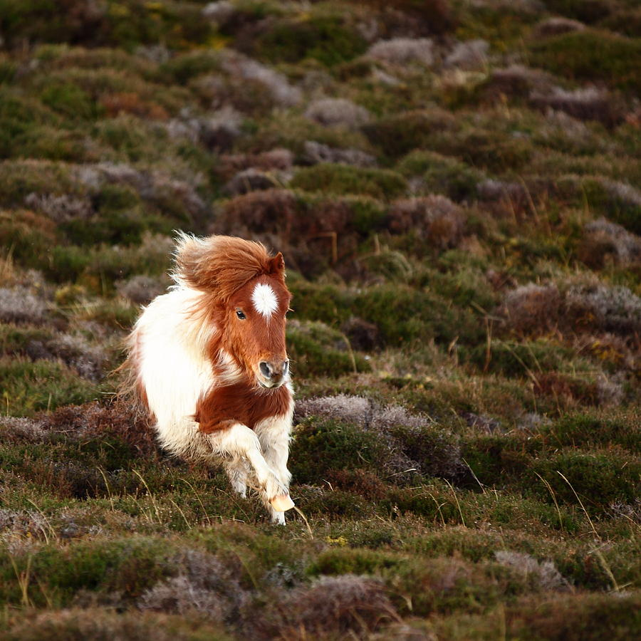 Young Pony Running Downhill Through Heather Photograph