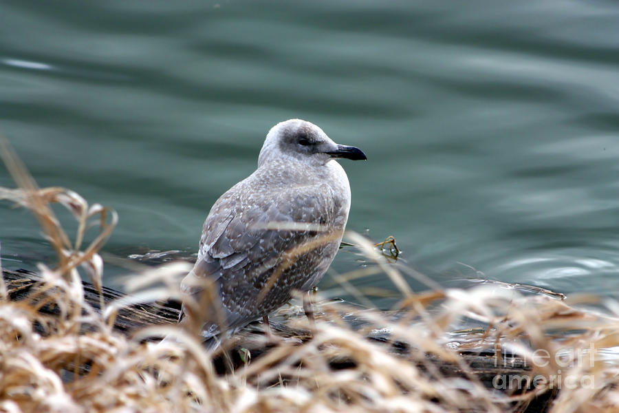 Young Seagull Photograph  - Young Seagull Fine Art Print