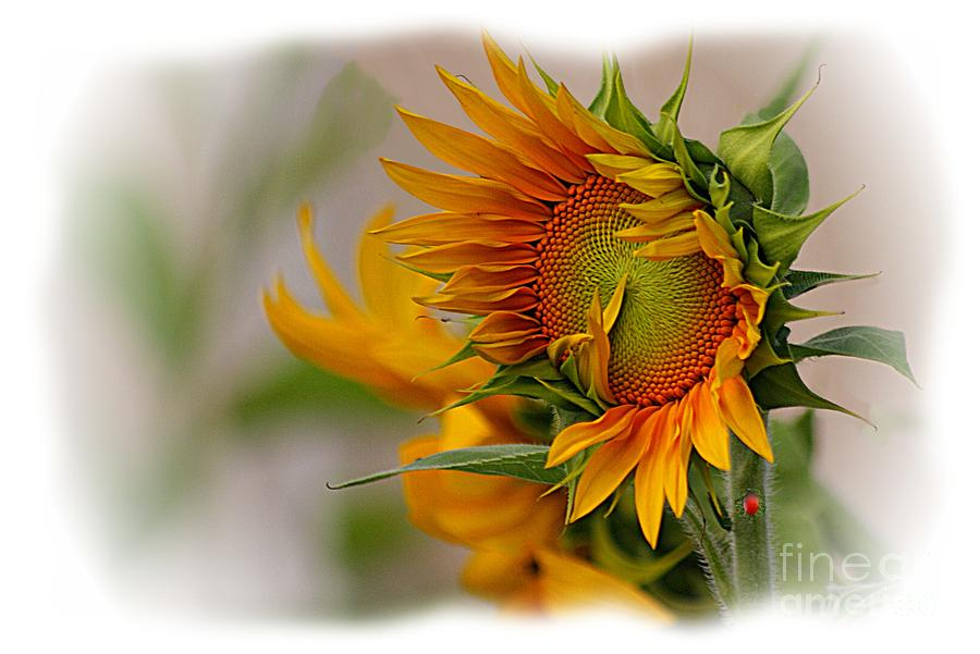 Young Sunburst Photograph  - Young Sunburst Fine Art Print