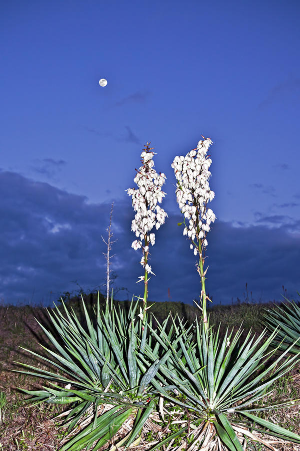 Yucca And The Moon Photograph