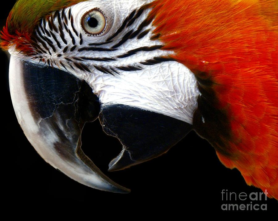 Zazzo The Macaw Photograph  - Zazzo The Macaw Fine Art Print
