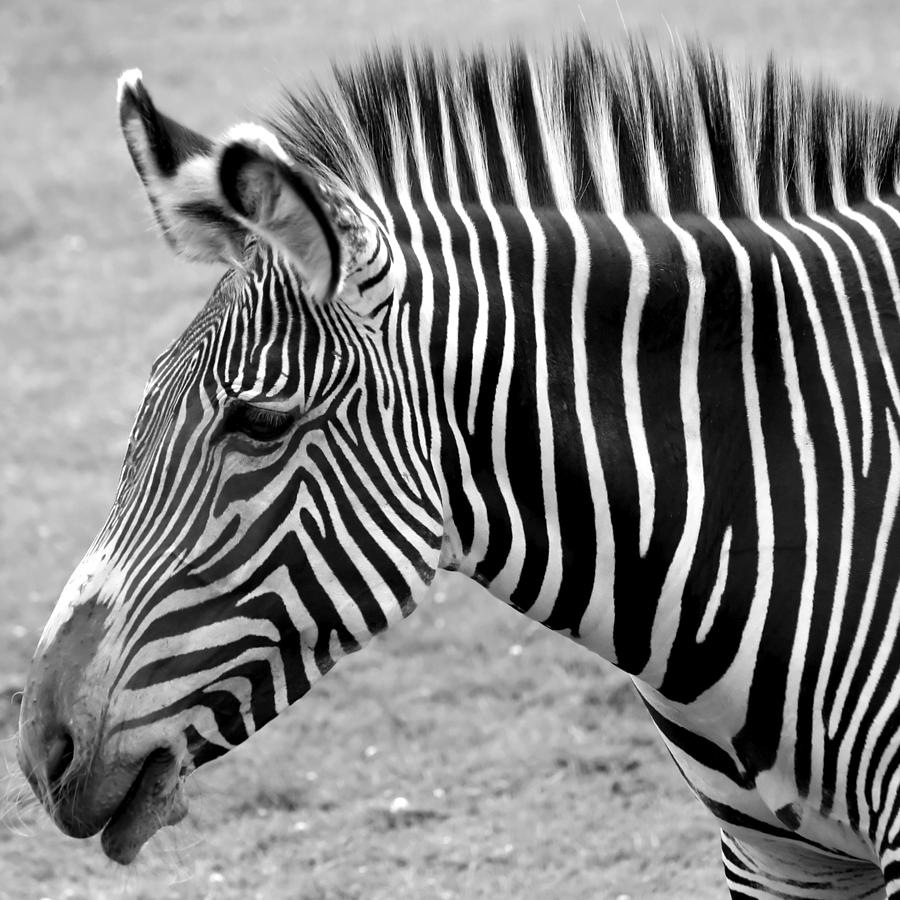 Zebra - Here It Is In Black And White Photograph  - Zebra - Here It Is In Black And White Fine Art Print