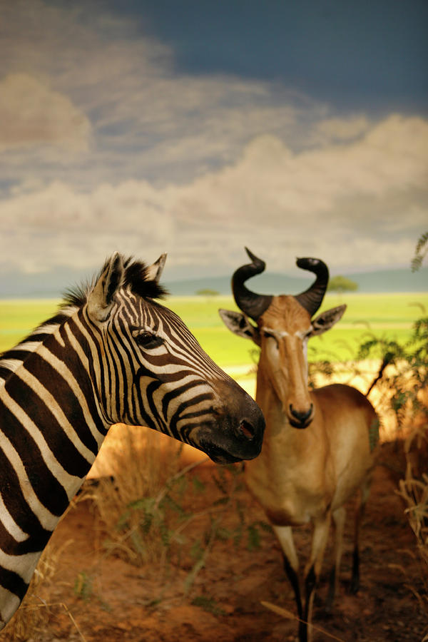 Zebra And Antelope Photograph
