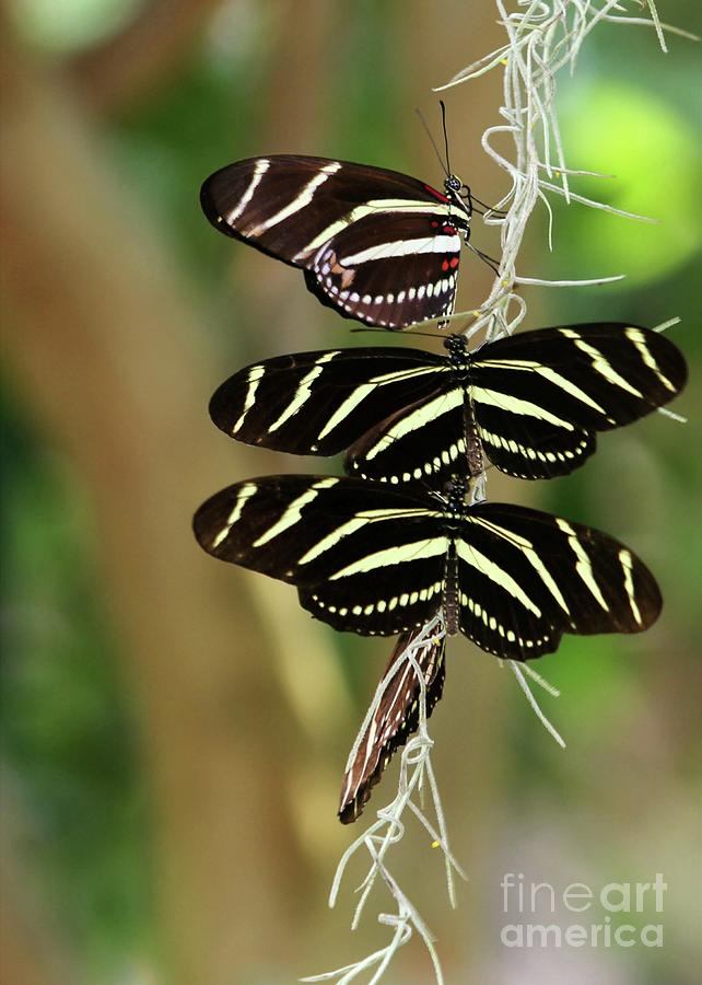 Zebra Butterflies Hanging On Photograph