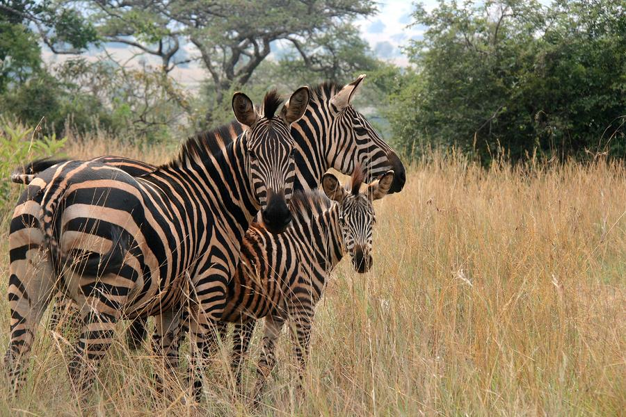 Zebra Family Photograph  - Zebra Family Fine Art Print