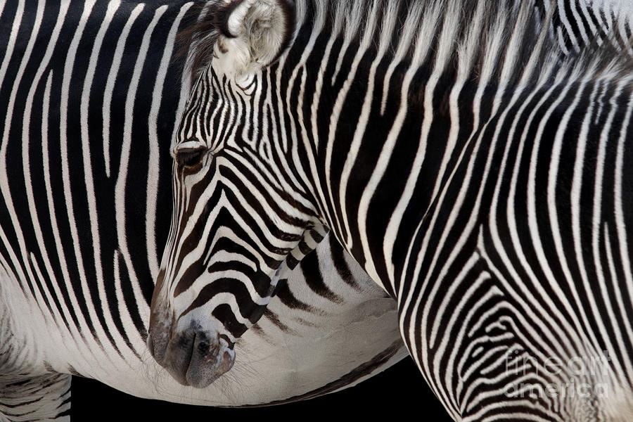 Zebra Head Photograph  - Zebra Head Fine Art Print