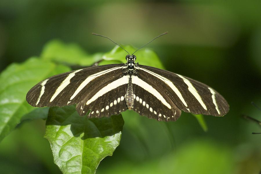 Zebra Longwing 2952 Photograph  - Zebra Longwing 2952 Fine Art Print