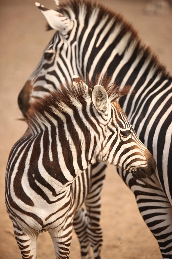 Zebra baby and mother - photo#24