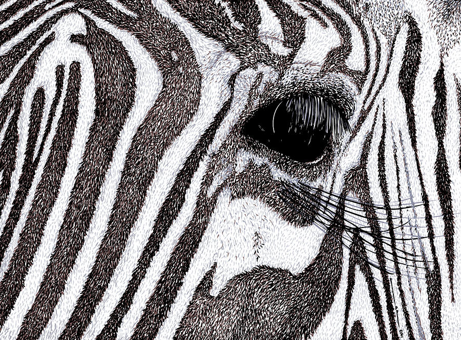 Zebra Portrait Drawing  - Zebra Portrait Fine Art Print