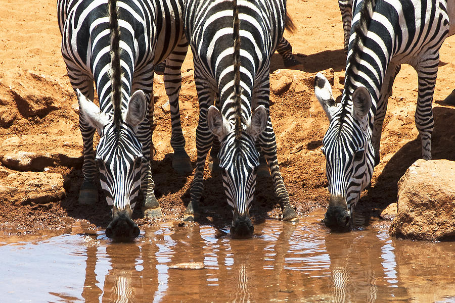Zebras At The Watering Hole Photograph  - Zebras At The Watering Hole Fine Art Print