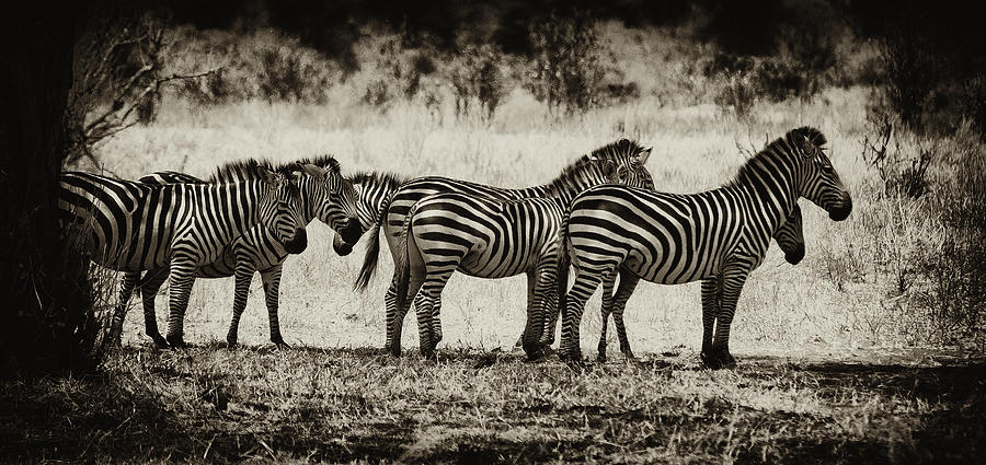 Zebras In A Row Photograph  - Zebras In A Row Fine Art Print