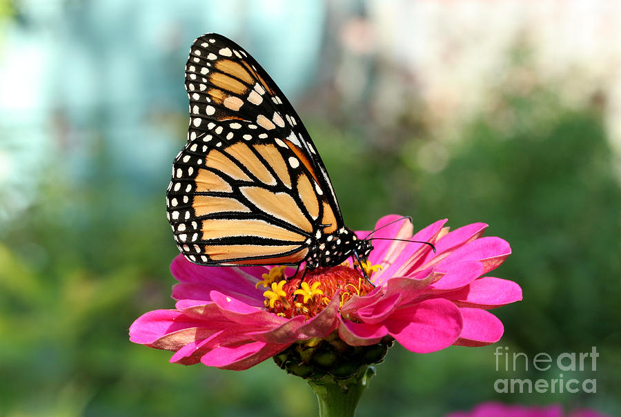 Zinnia With The Monarch Photograph