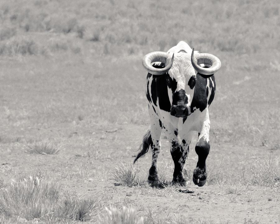Zion Bull II Photograph