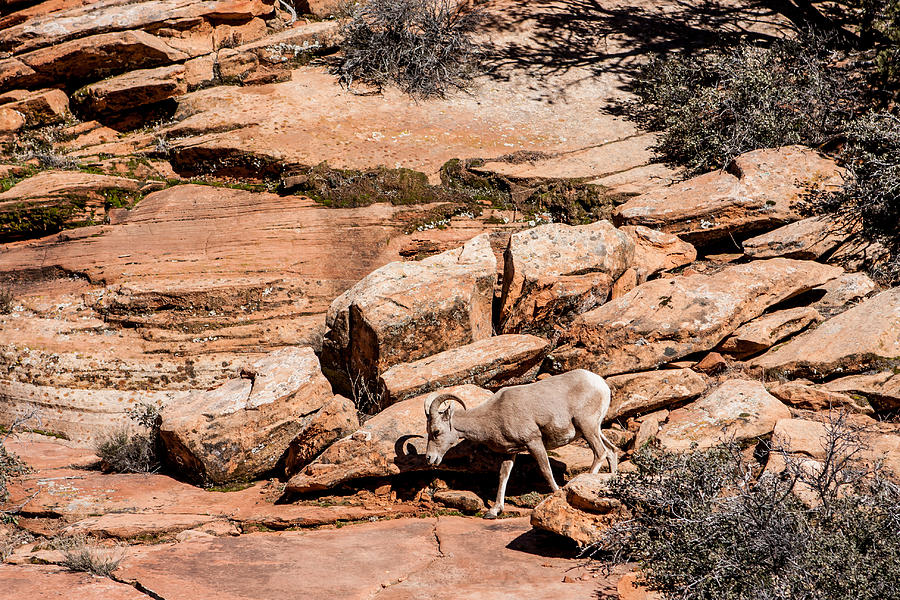 Zion Sheep Photograph
