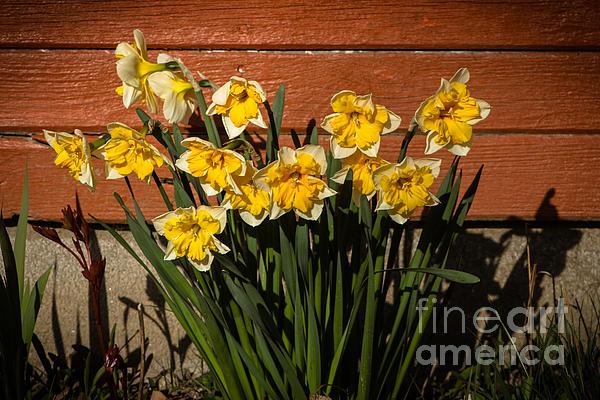 Robert Bales -  Daffodils