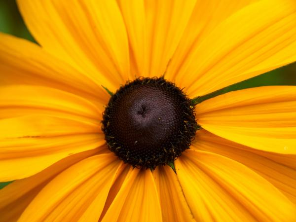 Goldilocks Gloriosa Daisy 2 Photograph  -  Goldilocks Gloriosa Daisy 2 Fine Art Print