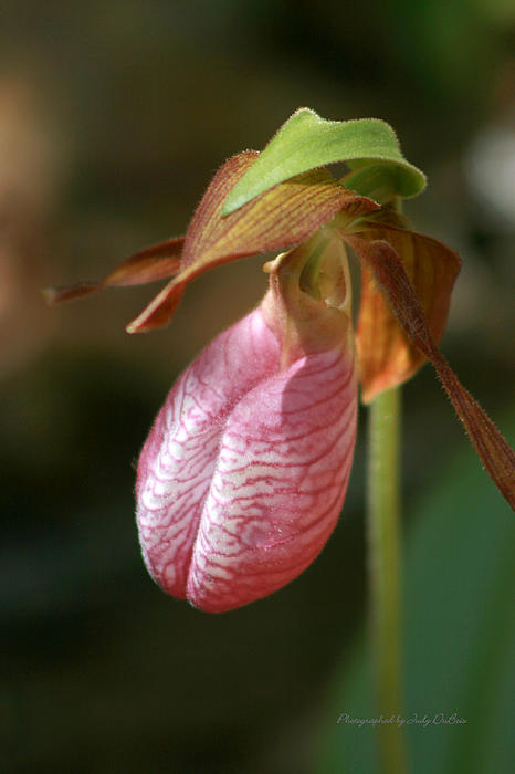 Judy DuBois -  Lady Slipper